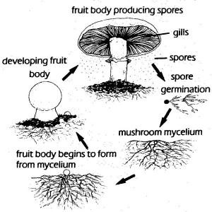 Mushroom-life-cycle