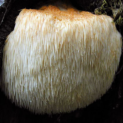 lions-mane-mushroom-growing-kit